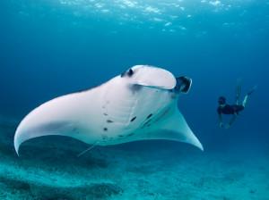 reef-manta-bali_69225_990x742